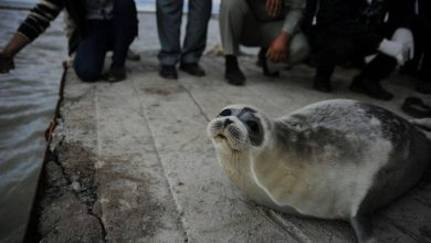 Mysterious mass die-off of endangered Caspian seals in Moscow shores under investigation