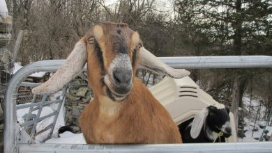 Dog and Goat Serving as Mayor Raise Money for Playground in Vermont