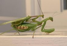 Male Springbok praying mantis wrestle with females to mate, avoid being eaten by them