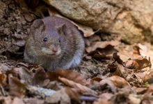 Rewind the clock: Study on mice show positive results to stop ageing process
