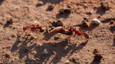 Two new species of rare ant discovered in Kerala and Tamil Nadu by researchers