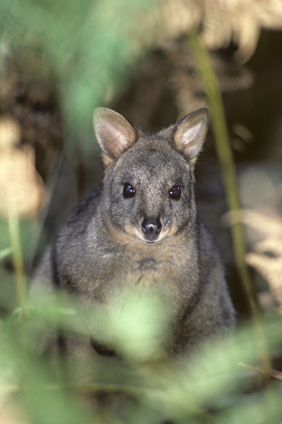 A pademelon gazing straight toward the camera, ears forward, through some foliage.