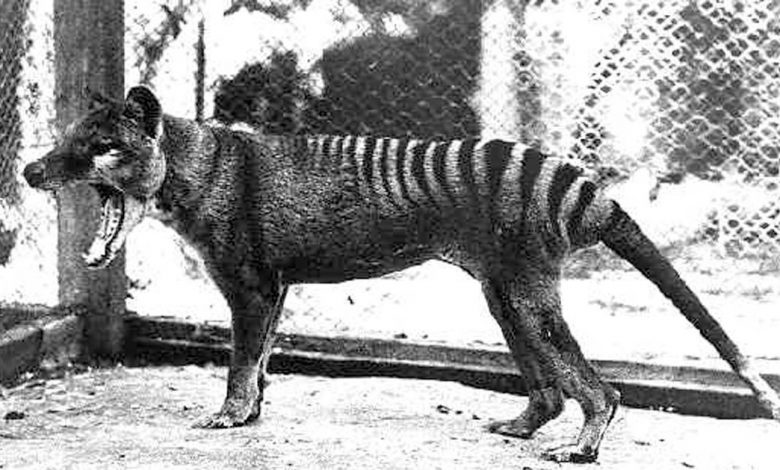 The thylacine remains extinct, but we still have pademelons