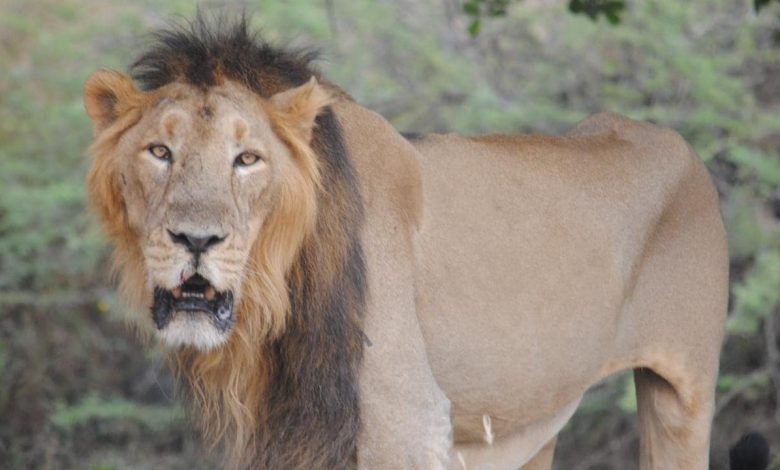 Endangered Gir lions conquer viral threat, experts advise moving some prides to other Parks- Technology News, Firstpost