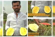 Indian farmer cultivates yellow watermelon, which is sweeter than the red variant - Times of India