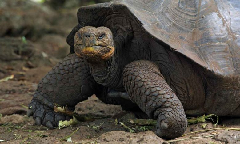 Galapagos island receives 36 endangered giant tortoises bred in captivity, quarantined- Technology News, Firstpost