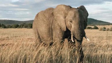 African elephants make it to the IUCNs red list due to poaching, shrinking populations