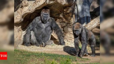 Nine great apes in San Diego become first non-human primates vaccinated for Covid-19 - Times of India