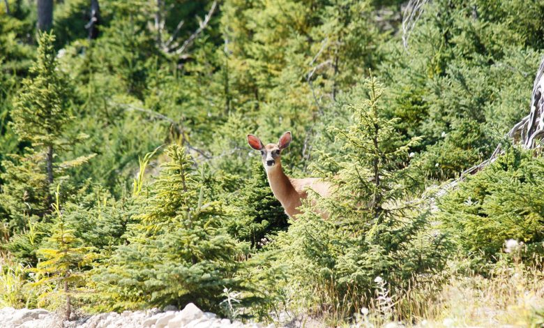 White-tailed deer rule on Quebec's Anticosti Island