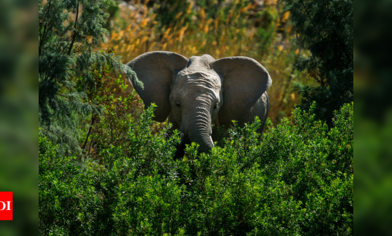 Elephants 'trample' rhino poacher to death in South African park - Times of India