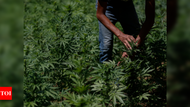 Growers fret as Mexico moves to legalize marijuana - Times of India