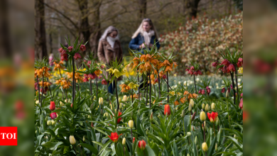 Visitors tiptoe through the tulips in Dutch virus test - Times of India