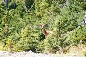 """Anticosti Island is home to some 125,000 deer — and fewer than 250 people. A deer peers from the forest on  August 13, 2013 on Anticosti Island, Canada. Between 800 and 1,000 tourists are expected to visit Anticosti in the summer of 2013, but every Fall as many as 4,000 hunters come to the island in the Gulf of St. Lawrence. The size of the French island of Corsica in the Mediterranean, Anticosti has only 216 inhabitants. Quebec's Petrolia gas exploration company announced a partnership with the community to install an hydrocarbons exploration program scheduled to star in 2014. Economist specializing in energy issues, Pierre-Olivier Pineau believes that fracturing gas """"increases opportunities for fugitive gas leaks"""" that are """"worse for the greenhouse effect because it is methane that escapes without being checked.""""   AFP PHOTO / Clement SABOURIN        (Photo credit should read Clement Sabourin/AFP via Getty Images)"""