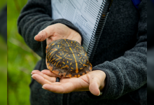 Illinois researchers working to save ornate box turtles - Times of India