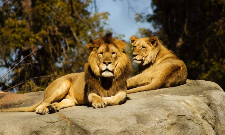South Africa counts between 8,000 and 12,000 lions at some 350 farms but in contrast around 3,500 lions live in the wild.