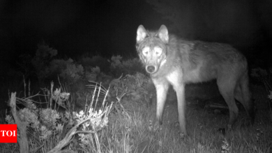 Colorado reports first litter of wolf pups in 80 years - Times of India