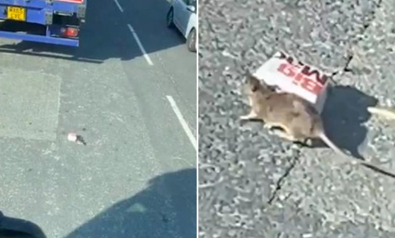 'Big Mac rat' braves traffic to get all-beef patties and special sauce