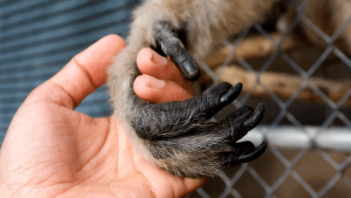 'Gibbons and Guardians' Explores the Exciting World Behind the Gates of the Gibbon Conservation Center